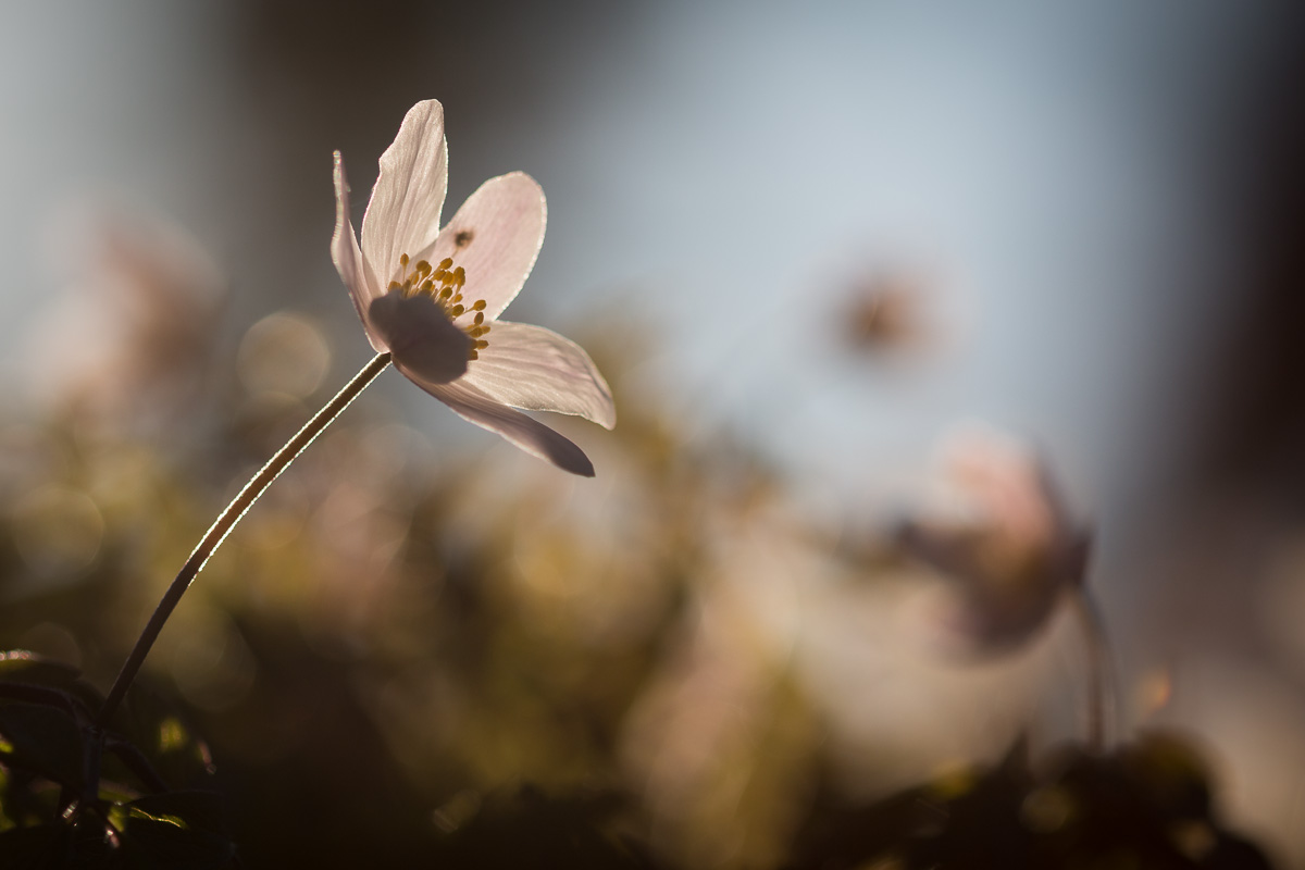Anemone Nemorosa, photo by Niklas Storm